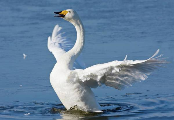 Cygnus Photograph - Whooper Swan by John Devries/science Photo Library