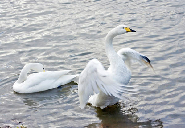 Cygnus Photograph - Whooper Swans by John Devries/science Photo Library