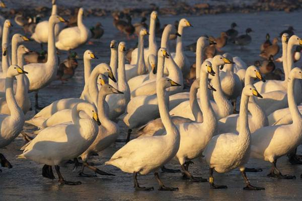 Cygnus Photograph - Whooper Swans by Simon Booth/science Photo Library