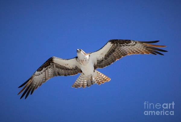 River Hawk Photograph - Wild Blue Yonder by Quinn Sedam