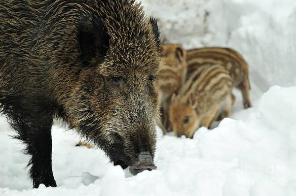 Reiner Photograph - Wild Boar And Piglets by Reiner Bernhardt