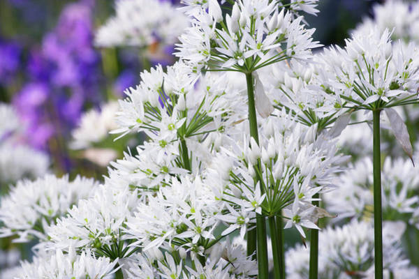 Wall Art - Photograph - Wild Garlic (allium Ursinum) by Simon Booth/science Photo Library
