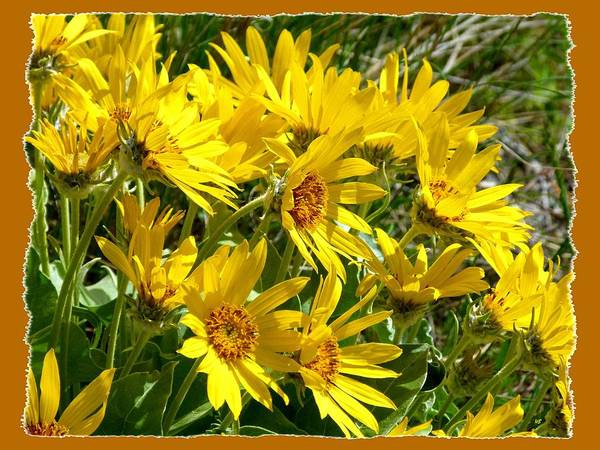 Okanagan Photograph - Wild Okanagan Sunflowers by Will Borden
