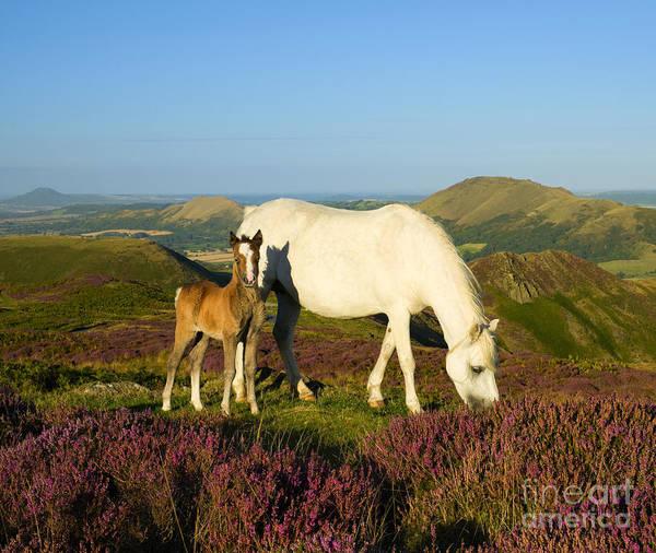 Church Stretton Photograph - Wild Ponies On The Long Mynd by John Hayward