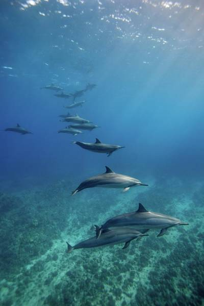 The Philippines Photograph - Wild Spinner Dolphins by James R.d. Scott