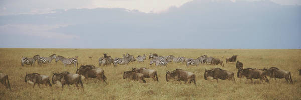 Wall Art - Photograph - Wildebeests And Zebras, Maasai Mara by Animal Images