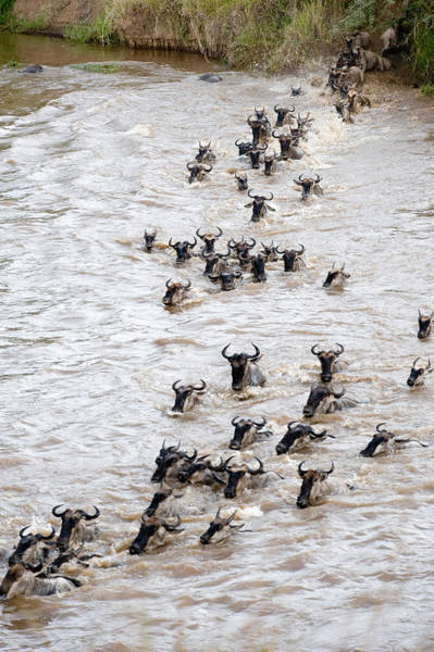 Migrate Photograph - Wildebeests Crossing A River, Mara by Panoramic Images
