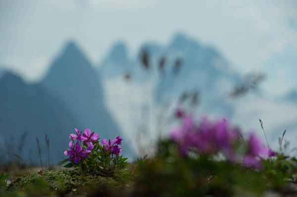 Bugaboo Photograph - Wildflowers, Glaciers, And Rugged by Topher Donahue