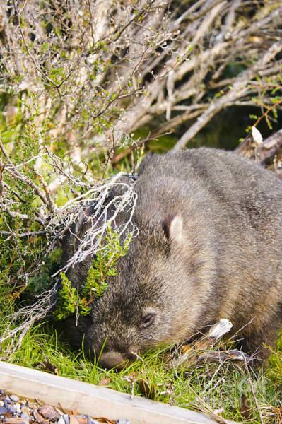 Australian Wildlife Wall Art - Photograph - Wildlife Wombat At Lake St Clair National Park  by Jorgo Photography - Wall Art Gallery