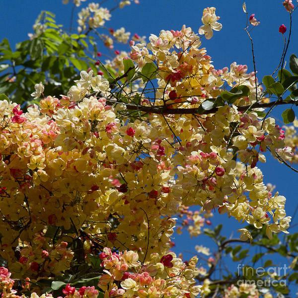Photograph - Wilhelmina Tenney Rainbow Shower Tree by Sharon Mau