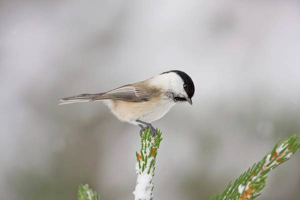 Tit Photograph - Willow Tit by John Devries/science Photo Library