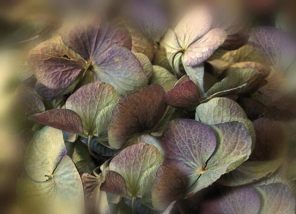 Hydrangea Photograph - Winter Hydrangea by Jessica Jenney