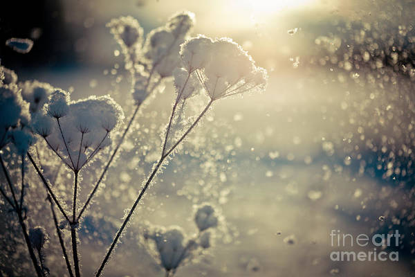 Photograph -  Snow Covered Branch And Snow Fall Artmif by Raimond Klavins