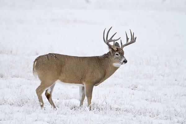 Photograph - Winter Whitetail by D Robert Franz