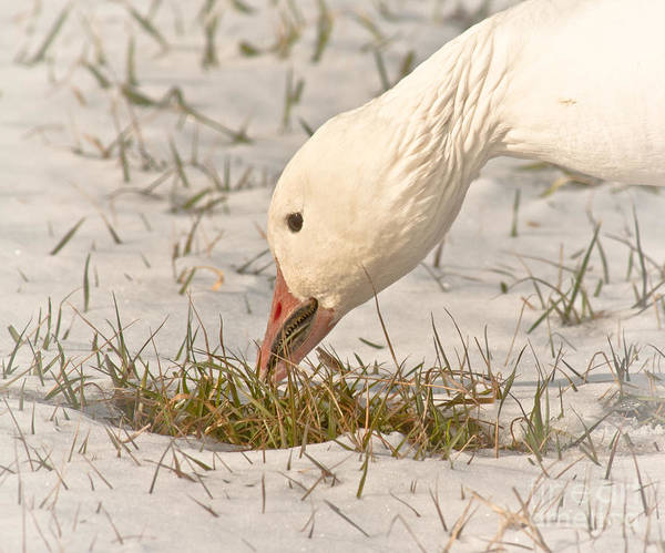 Gander Photograph - Wintering Snow Goose by Robert Frederick