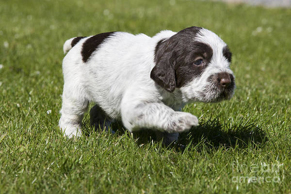 Photograph - Wire-haired Pointing Griffon Pup by Jean-Michel Labat