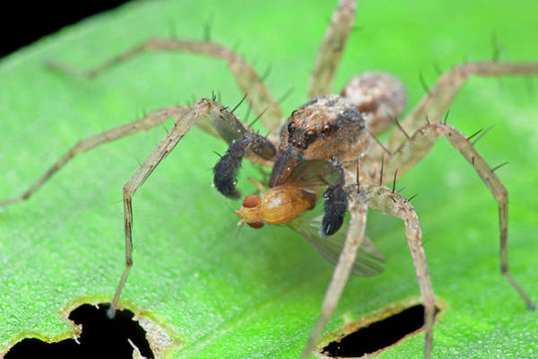 Wall Art - Photograph - Wolf Spider With Prey by Melvyn Yeo/science Photo Library