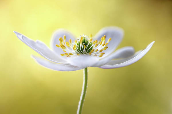 Woods Photograph - Wood Anemone by Mandy Disher