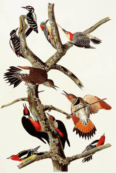 Colaptes Photograph - Woodpeckers by Natural History Museum, London/science Photo Library