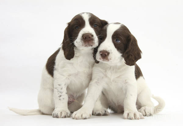 Wall Art - Photograph - Working English Springer Spaniel Puppies by Mark Taylor