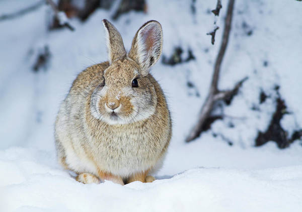 Cottontail Photograph - Wyoming, Sublette County, Nuttall's by Elizabeth Boehm