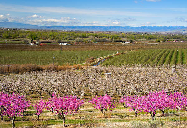 Orchard Photograph - Yakima Valley Spring by Mike  Dawson