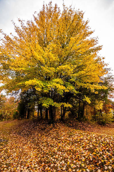 Photograph - Yellow Autumn Tree by Alex Grichenko