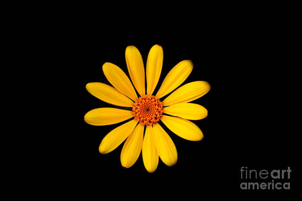Photograph - Yellow Daisy by Gunter Nezhoda