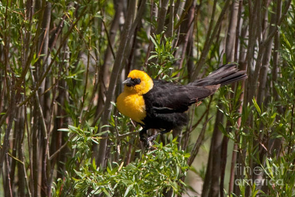 Photograph - Yellow Headed Black Bird by Fred Stearns