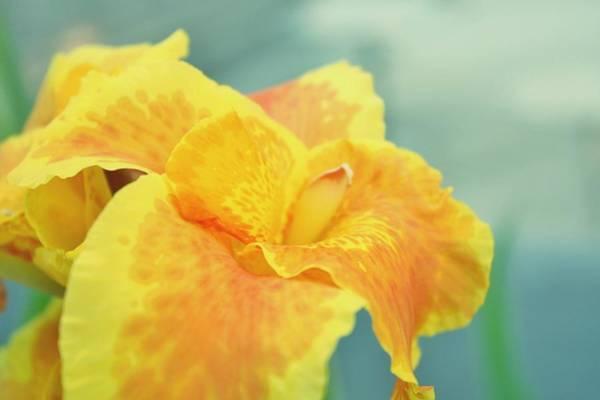 Wall Art - Photograph - Yellow Iris by Cathie Tyler
