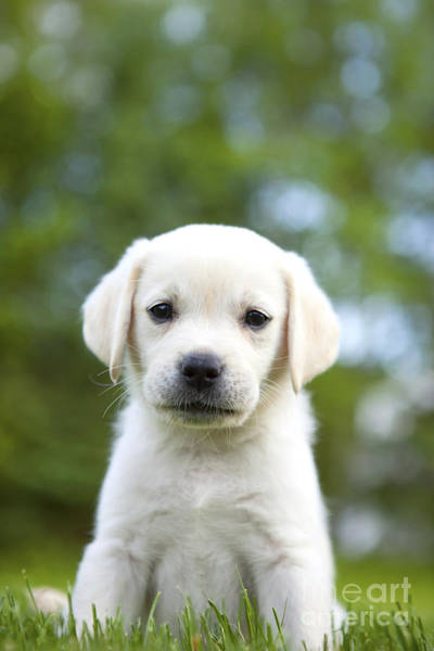 Labs Photograph - Yellow Lab Puppy by Diane Diederich