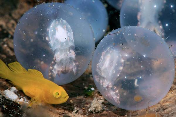 Developing Wall Art - Photograph - Yellow Pygmy Goby With Cuttlefish Eggs by Scubazoo/science Photo Library