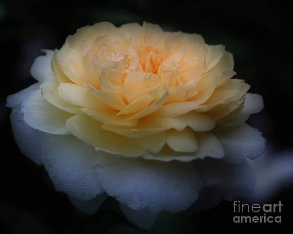 Photograph - Yellow Rose In Bloom by Smilin Eyes  Treasures