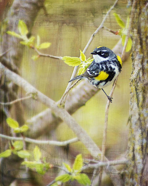 Horicon Marsh Photograph - Yellow-rumped Warbler -male- Of Horicon Marsh Paint by Carol Toepke