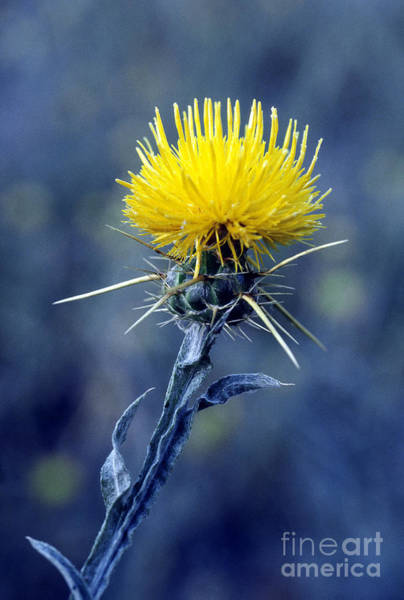 Photograph - Yellow Star-thistle by William H Mullins