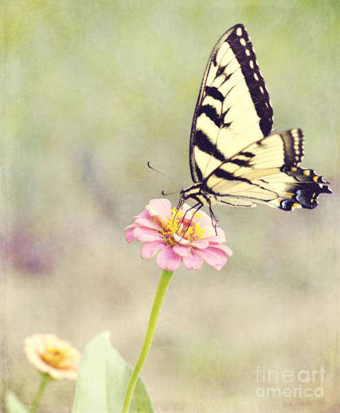 Photograph - Yellow Swallowtail And Zinnia by Pam  Holdsworth