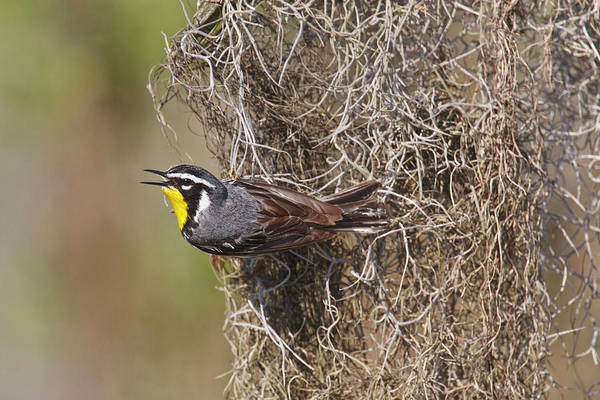 Caddo Lake Wall Art - Photograph - Yellow-throated Warbler (dendroica by Larry Ditto