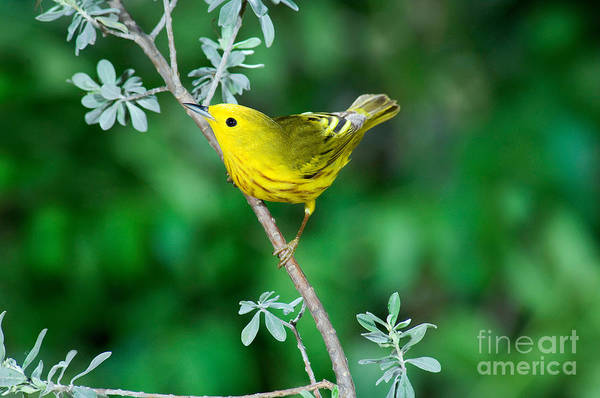 Parulidae Photograph - Yellow Warbler by Anthony Mercieca
