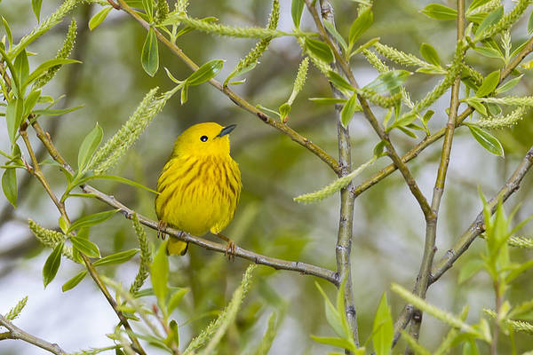 Photograph - Yellow Warbler by Jack R Perry