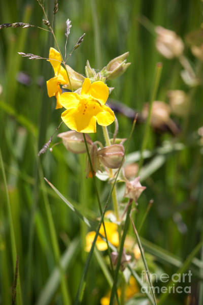 Photograph - Yellow Wildflower by Cindy Singleton