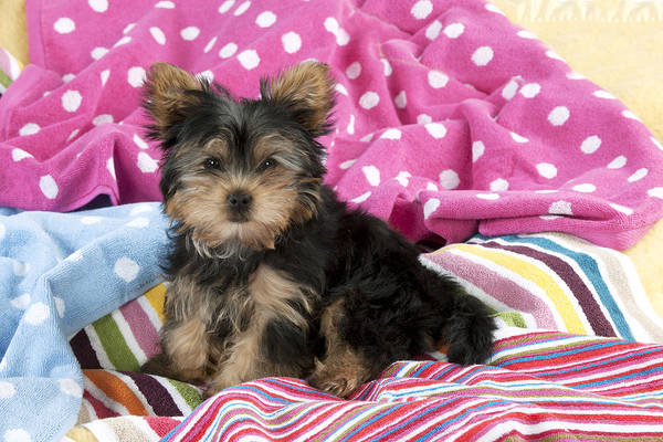 Breed Of Dog Photograph - Yorkshire Terrier Puppy by John Daniels