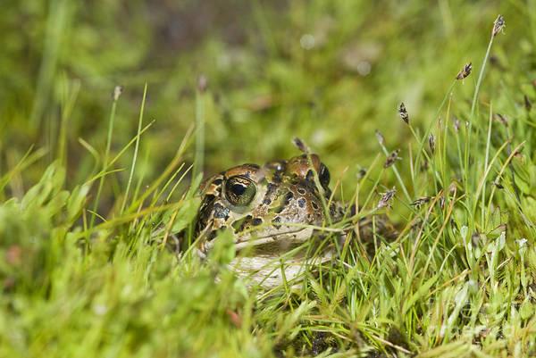 Photograph - Yosemite Toad by Dan Suzio