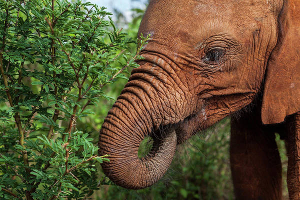 Wall Art - Photograph - Young African Elephant Loxodonta by Fat Tony
