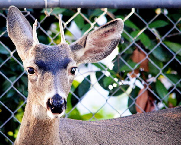 Photograph - Young Buck by AJ  Schibig