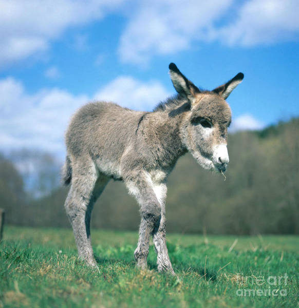 Photograph - Young Donkey by Hans Reinhard