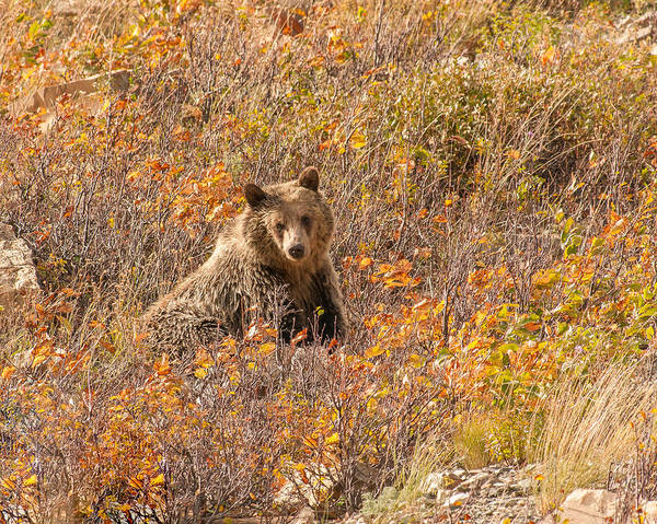 Photograph - Young Grizzly Bear by Brenda Jacobs