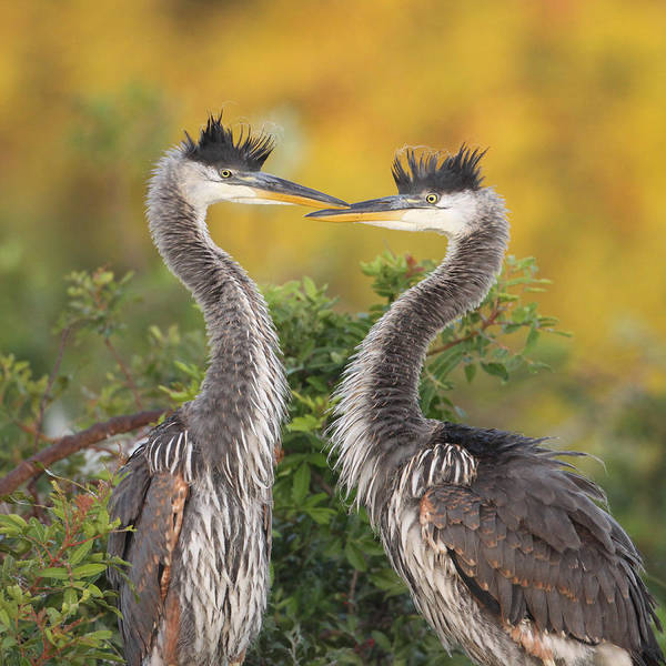 Photograph - Young Herons by Brian Magnier