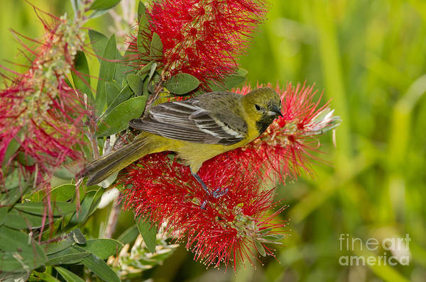 Icterid Photograph - Young Orchard Oriole by Anthony Mercieca