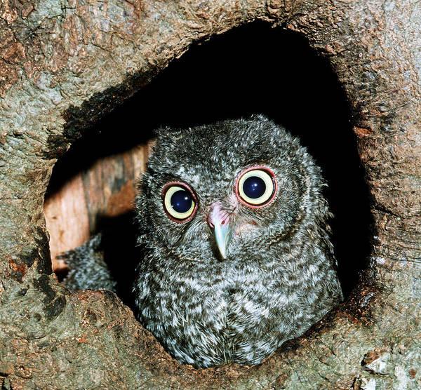 Screech Owl Photograph - Young Screech Owl Otis Asio by Millard H. Sharp