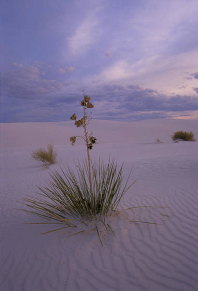 Wall Art - Photograph - Yucca Plants Growing In The Desert Sand by Tony Craddock/science Photo Library